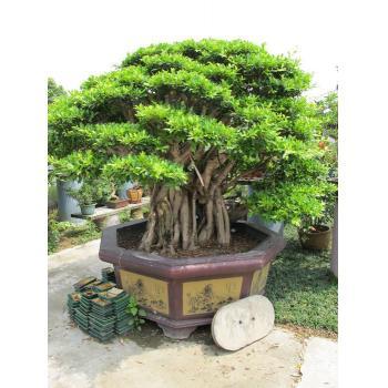 杂木类盆景 产品类型:造型树